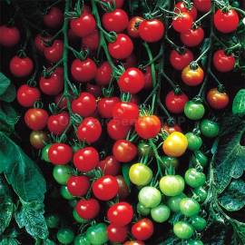 «Super Sweet» - Organic Tomato Seeds