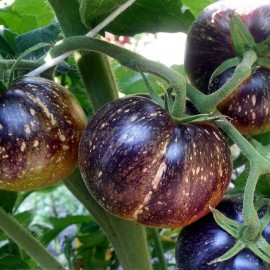 Фото «Dark Galaxy» - Organic Tomato Seeds