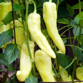 «Sweet Banana» - Organic Pepper Seeds