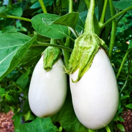 «White Lily» - Organic Eggplant Seeds
