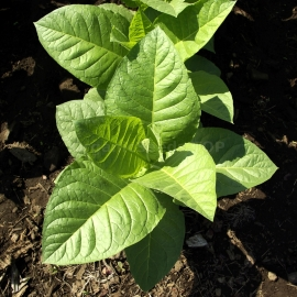 «Virginia» Heirloom Tobacco Seeds