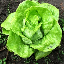 «Berlin yellow» - Organic Salad Seeds
