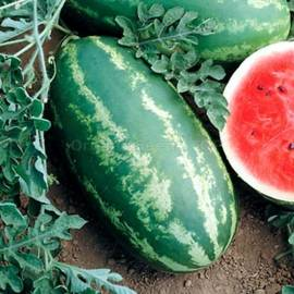 «Royal Majestic» - Organic Watermelon Seeds