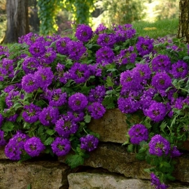 «Purple Spark» - Organic Verbena Seeds