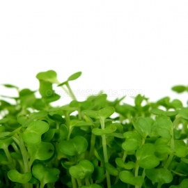 «Dutch» - Organic Watercress Seeds