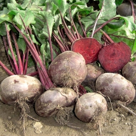 «Kahira» - Organic Beetroot Seeds