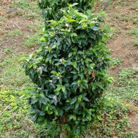 Coffee (Coffea Arabica) - Organic Seeds