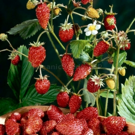 «Rozea» - Organic Alpine Strawberry Seeds